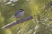 Corsican nuthatch Sitta whiteheadi in Corsican pine forest Asco Valley Corsica France