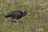 Northern bald ibis Geronticus eremita ringed individual part of reintroduction project Pera Marsh Algarve Portugal