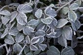 Bramble Rubus fruticosus leaves with frost Kingston Common near Ringwood Hampshire England