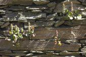 Navelwort Umbilicus rupestris Corsica France