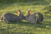 Rabbit Oryctolagus cuniculus young greeting New Forest National Park Hampshire England