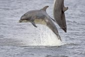 Bottle-nosed dolphin Tursiops truncatus two leaping from sea Moray Firth Scotland