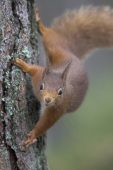 Red squirrel Sciurus vulgaris in Scots pine tree Abernethy Forest Highland Region Scotland UK