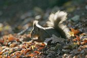 Red squirrel Sciurus vulgaris back lit on forest floor Brownsea Island Dorset England