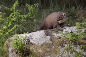 Pine marten Martes martes on rock in rough grassland