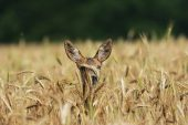 Roe deer Capreolus capreolus peering out of barley crop near Tiszaalpar Hungary