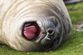 Southern elephant seal Mirounga leonina young yawning Sea Lion Island Falkland Islands
