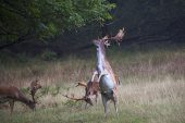 Fallow deer Dama dama buck knocking down branch to feed on leaaves Bolderwood Deer Sanctuary New Forest National Park Hampshire England UK