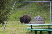 American bison Bison bison in childrens play area Silver Gate Montana USA June 2015