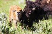 American bison Bison bison adult cow with calf Lamar Valley Yellowstone National Park Wyoming USA June 2015