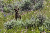American black bear Ursus americanus cub standing on hind legs amongst wildflowers and Silver sagebrush Artemesia cana Lamar Valley Yellowstone National Park Wyoming USA June 2015