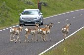 Pronghorn Antilocapra americana group crossing the road in front of a car in the Lamar Valley Yellowstone National Park Wyoming USA June 2015