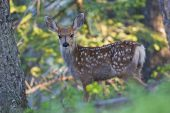Mule deer Odocvoileus hemionus calf Signal Mountain Grand Teton National Park Wyoming USA June 2015