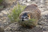 Yellow-bellied marmot Marmota flaviventris with nesting material Pompeys Pillar National Monument Montana USA June 2015