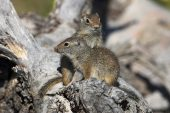 Uinta ground squirrel Spermophilus armatus two young on fallen tree trunk Old Faithful Yellowstone National Park Wyoming USA June 2015