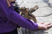 Golden-mantled ground squirrel Spermophilus lateralis being fed at Rock Creek Vista Point Bear Tooth Highway Montana USA June 2015