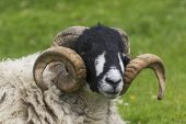 Swaledale sheep ram with large horns resting Yorkshire Dales National Park Yorkshire England UK July 2016
