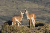 Guanaco Lama guanicoe two young greeting each other Torres del Paine National Park Patagonia Chile South America December 2016