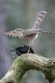 Eurasian sparrowhawk Accipiter nisus juvenile with male Blackbird Turdus merula prey Hampshire England