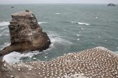 Australasian gannet Morus serrator nesting colony at Muriwai Beach North Island New Zealand
