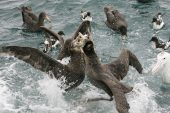Northern giant petrel Macronectes halli fighting for food New Zealand