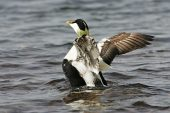 Common eider Somateria mollissima male wing flapping Loch Scridain Isle of Mull Argyll and Bute Scotland UK