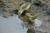 Common crossbill Loxia curvirostra pair drinking from muddy puddle Glen Feshie Highland Region Scotland UK