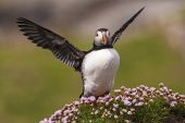 Atlantic puffin Fratercula arctica adult wing stretching amongst Thrift Armeria maritima island of Lunga Treshnish Isles Inner Hebrides Argyll and Bute Scotland UK
