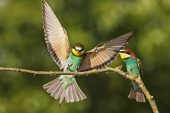 European bee-eater Merops apiaster landing to join another bird on a branch nearTiszaalpar Southern Great Plain Hungary
