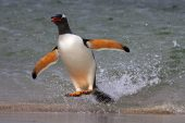 Gentoo penguin Pygoscelis papua rushing out of sea to avoid predators Bleaker Island Falkland Islands