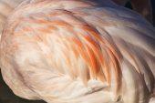 Greater flamingo feather details Parc Ornithologique de Pont de Gau Regional Nature Park of the Camargue