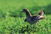 Stone-curlew Burhinus oedicnemus threat display near a nest site Norfolk England UK