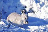 Mountain hare Lepus timidus in winter coay grooming itself Scotland