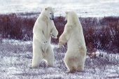 Polar bears Thalarctos maritimus two play fighting shall we dance Churchill Canada