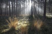 Light rays through Scots pine woodland and mist near the Rhinefield Ornamental Drive New Forest National Park