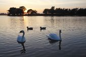Mute swans Cygnus olor at sunset Hatchet pond New Forest National Park