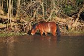 New Forest pony feeding at the edge of a pond Clay Hill near Burley New Forest National Park Hampshire England UK