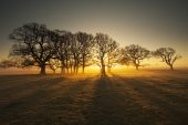 Group of oak trees and shadows at sunrise Backley Holmes New Forest National Park Hampshire England UK December 2016