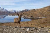 Red deer Cervus elaphus stag on grassy moorland beside Loch Quoich with snow covered mountains beyond Glen Quoich Lochaber Highlands Scotland March 2017