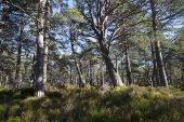 Black Wood of Rannoch Ancient Caledonian Pine Forest Perthshire Scotland March 2017