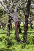 Cork oak Quercus suber woodland Tres Marias Plain Alentejo Portugal