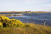 Gorse Ulex europaeus and harbour wall Choiseul Sound Darwin East Falkland Falkland Islands