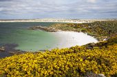 Sandy beach Gypsy Cove with Gorse Ulex europaeus in the foreground East Falkland Falkland Islands