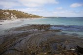 Sandy bay and Giant kelp Macrocystis pyrifera Sealion Island Falkland Islands British Overseas Territory December 2016