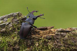 Stag beetle Lucanus cervus male on rotting mossy covered log, Ringwood, Hampshire, England, UK, June 2017
