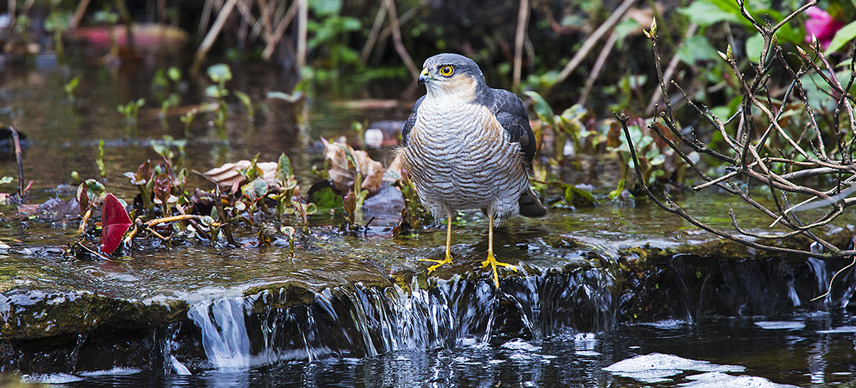 Eurasian sparrowhawk Accipiter nisus male searching for suitable depth of water for bathing in garden stream, Corfe Mullen, Dorset, England, UK. April 2018