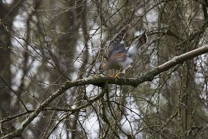 Eurasian sparrowhawk Accipiter nisus male in Silver birch Betula pendula trying to collect nesting twigs, Corfe Mullen, Dorset, England, UK, April 2018
