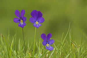 Mountain pansy Viola lutea on a grassy bank, Strathdearn, Upper Findhorn Valley, Highland Region, Scotland, UK, June 2005