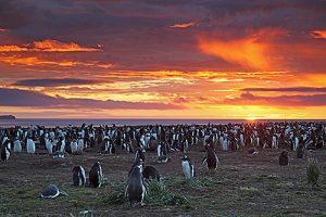 Gentoo penguin Pygoscelis papua nesting colony at sunrise Sea Lion Island Falkland Islands