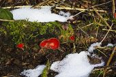 Scarlet elf cup Sarcoscypha austriaca growing on mossy log, Blashford Lakes Nature Reserve, Hampshire and Isle of Wight Wildlife Trust Reserve, Ellingham, near Ringwood, Hampshire, England, UK, February 2018